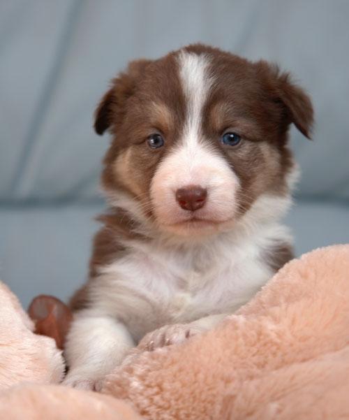 Border Collie Puppies Favethingcom