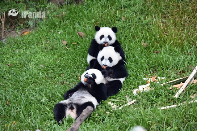 Do you want to hug a bunch of pandas?