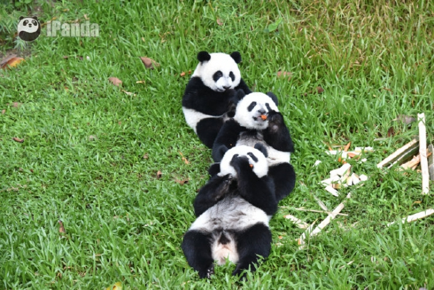 Do you want to hug a bunch of pandas? - Image 2
