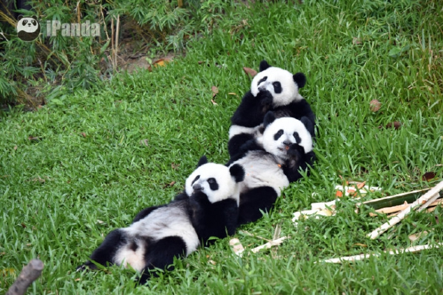 Do you want to hug a bunch of pandas? - Image 3