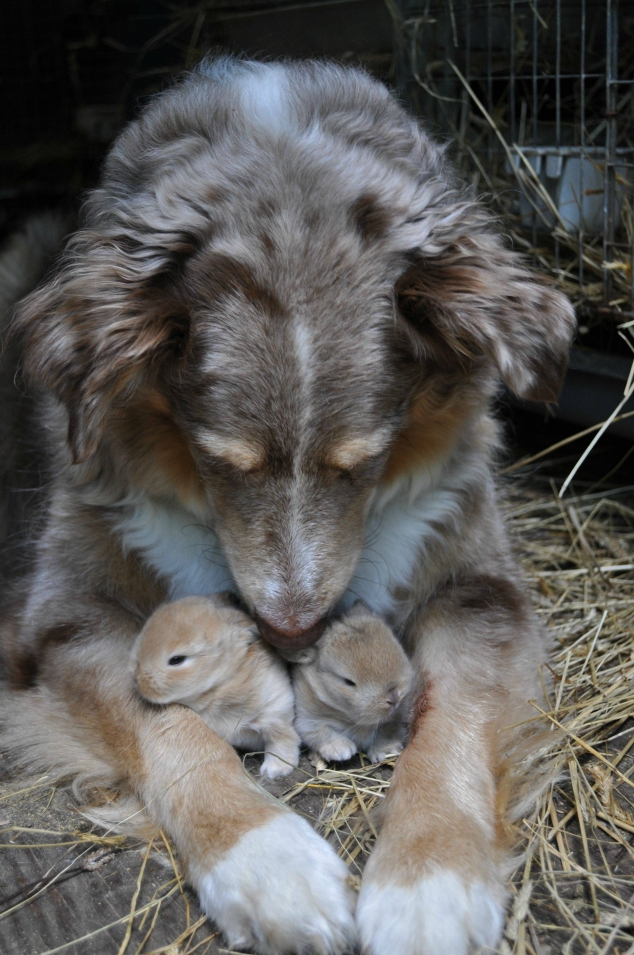Dog with baby bunnies