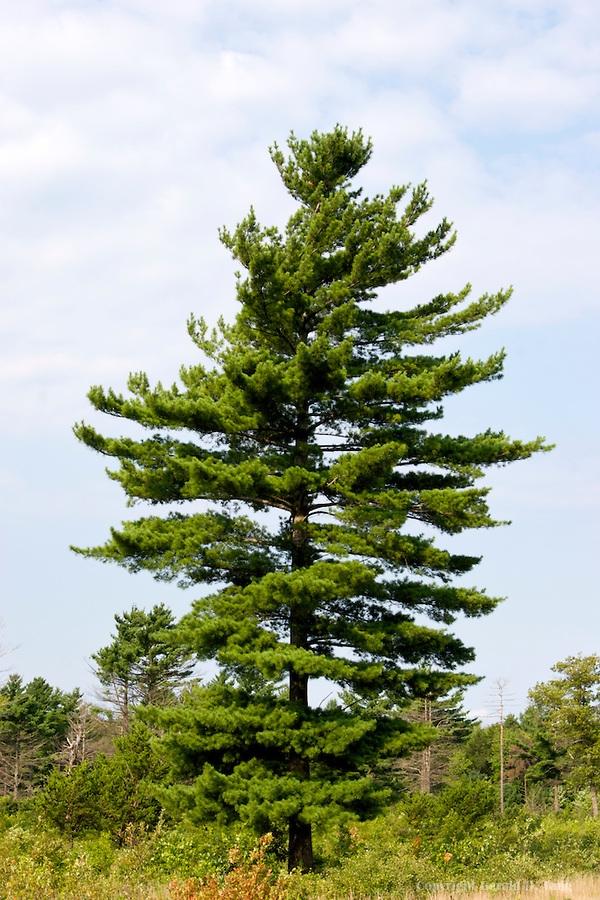 Eastern White Pine Favething Com