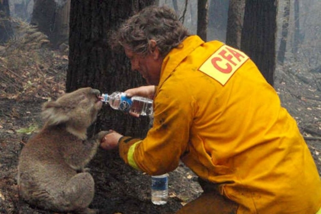 Firefighter gives water to a koala during bushfires in Australia
