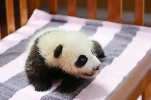 I am a Two-month-old female giant panda who named Hua Sheng or Peanut in English.