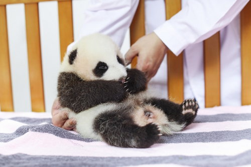 I am a Two-month-old female giant panda who named Hua Sheng or Peanut in English. - Image 2
