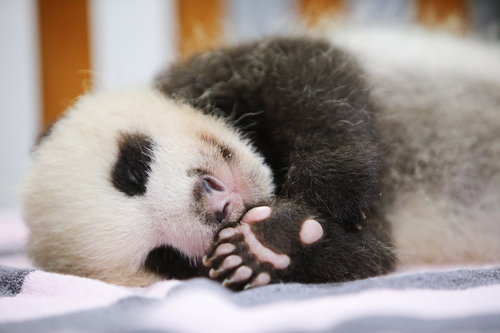I am a Two-month-old female giant panda who named Hua Sheng or Peanut in English. - Image 3