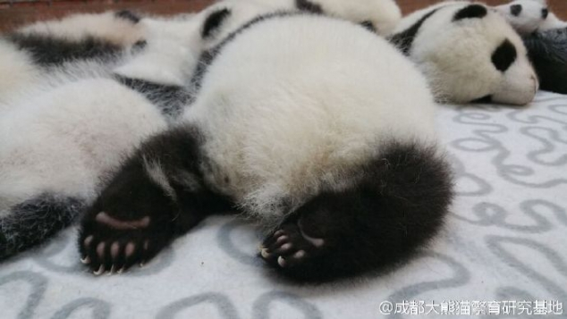 Look at these cute panda buttocks