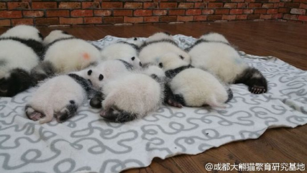 Look at these cute panda buttocks - Image 3