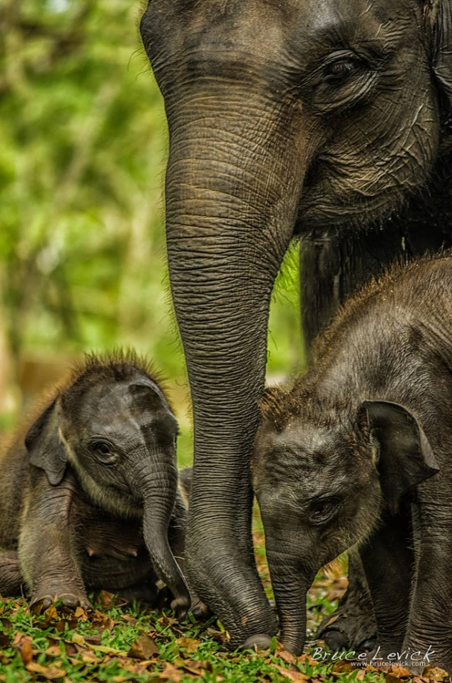 Mother elephant with babies