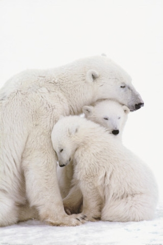 Polar bear & her cubs