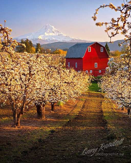 Red Barn in a pear orchard