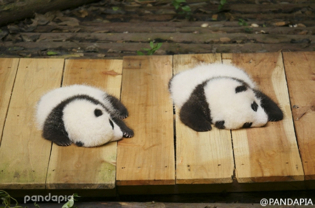 Show two pandas with you, one is S and the other is M.(Left is Qi Fu and right is Qi Yuan)