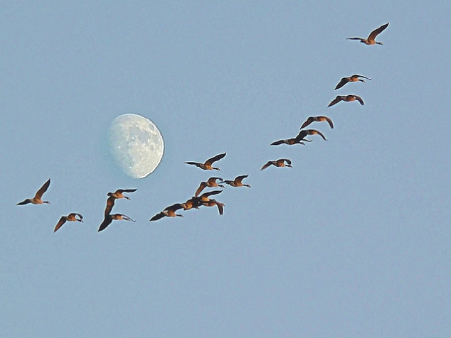 Wild Geese That Fly With The Moon On Their Wings Favething Com