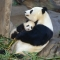 Baby panda with it's mother - Animals