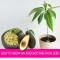How to grow an avocado tree from seed - Great Gardening Ideas