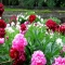 Peony Garden - Great Gardening Ideas