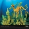 Leafy Sea Dragon - Pictures