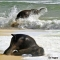 Cute baby elephant playing in the ocean surf - Animals do the darndest things