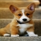 Welsh corgi puppy - Adorable Dog Pics